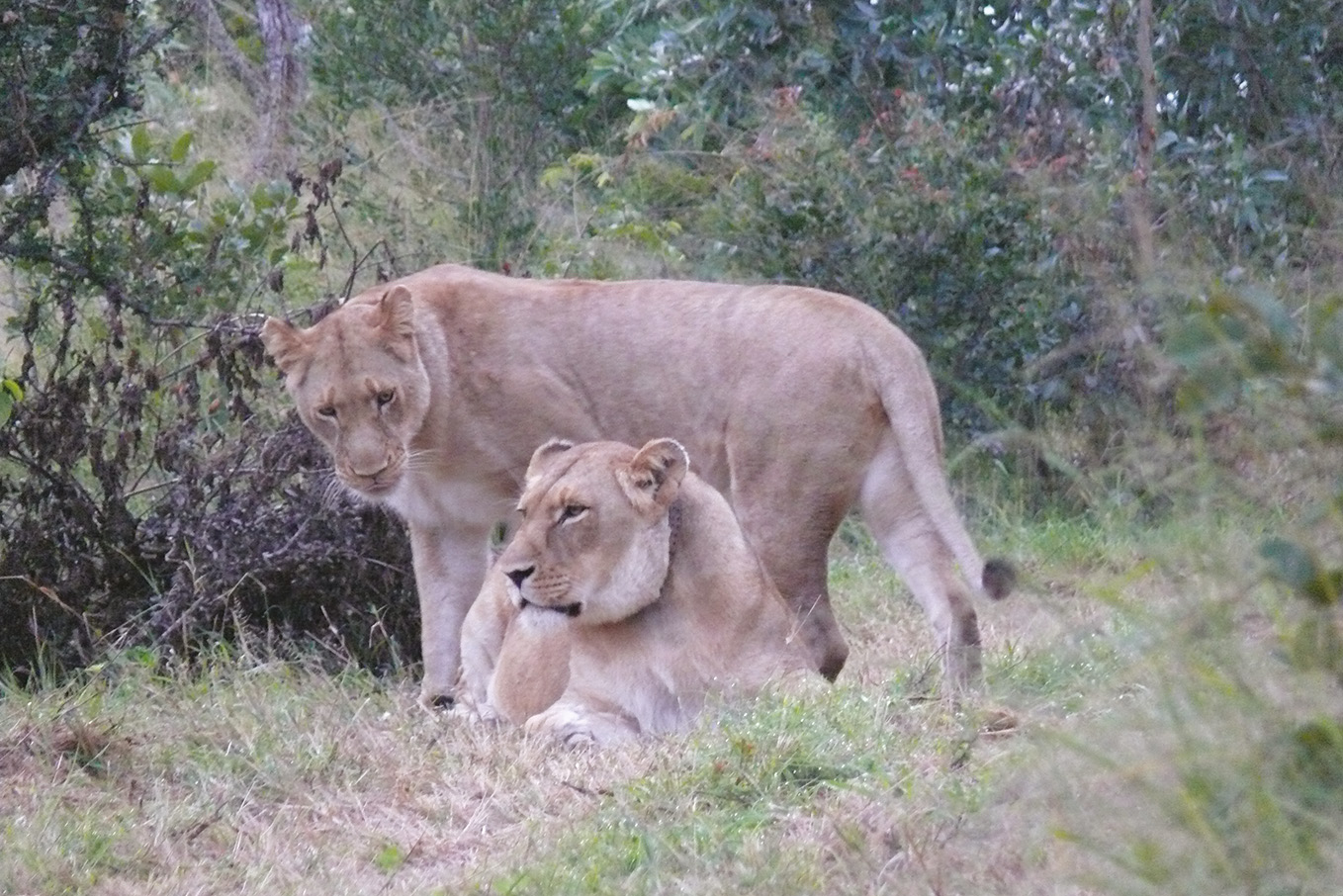 Rewilding White Lions: Conservation through the Eyes of