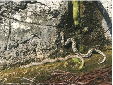 A new population and subspecies of the critically endangered