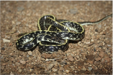 Phylogeny and conservation status of the Indian egg-eater snake