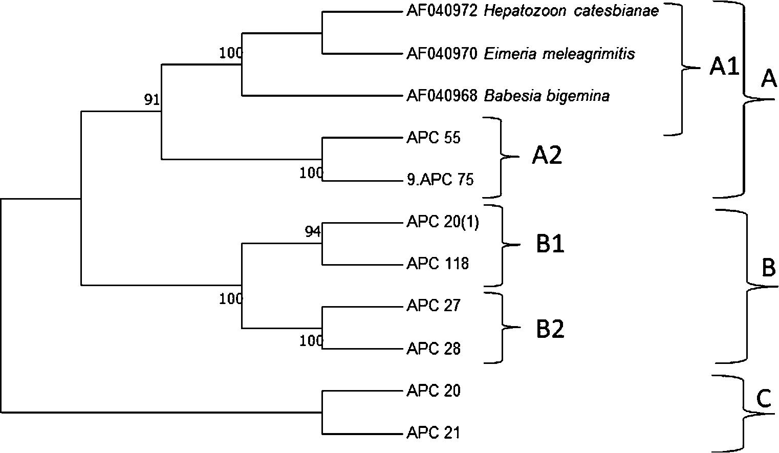 Molecular and morphological characterization of Hepatozoon