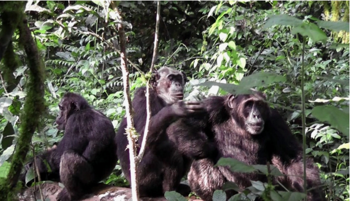 Male dominance relationships in an extremely large chimpanzee