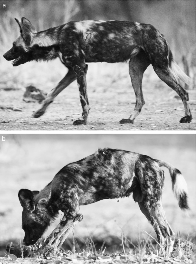 Dangerous Game Preferential Predation On Baboons By African Wild Dogs In Mana Pools National Park Zimbabwe In Behaviour Volume 156 Issue 1 2019