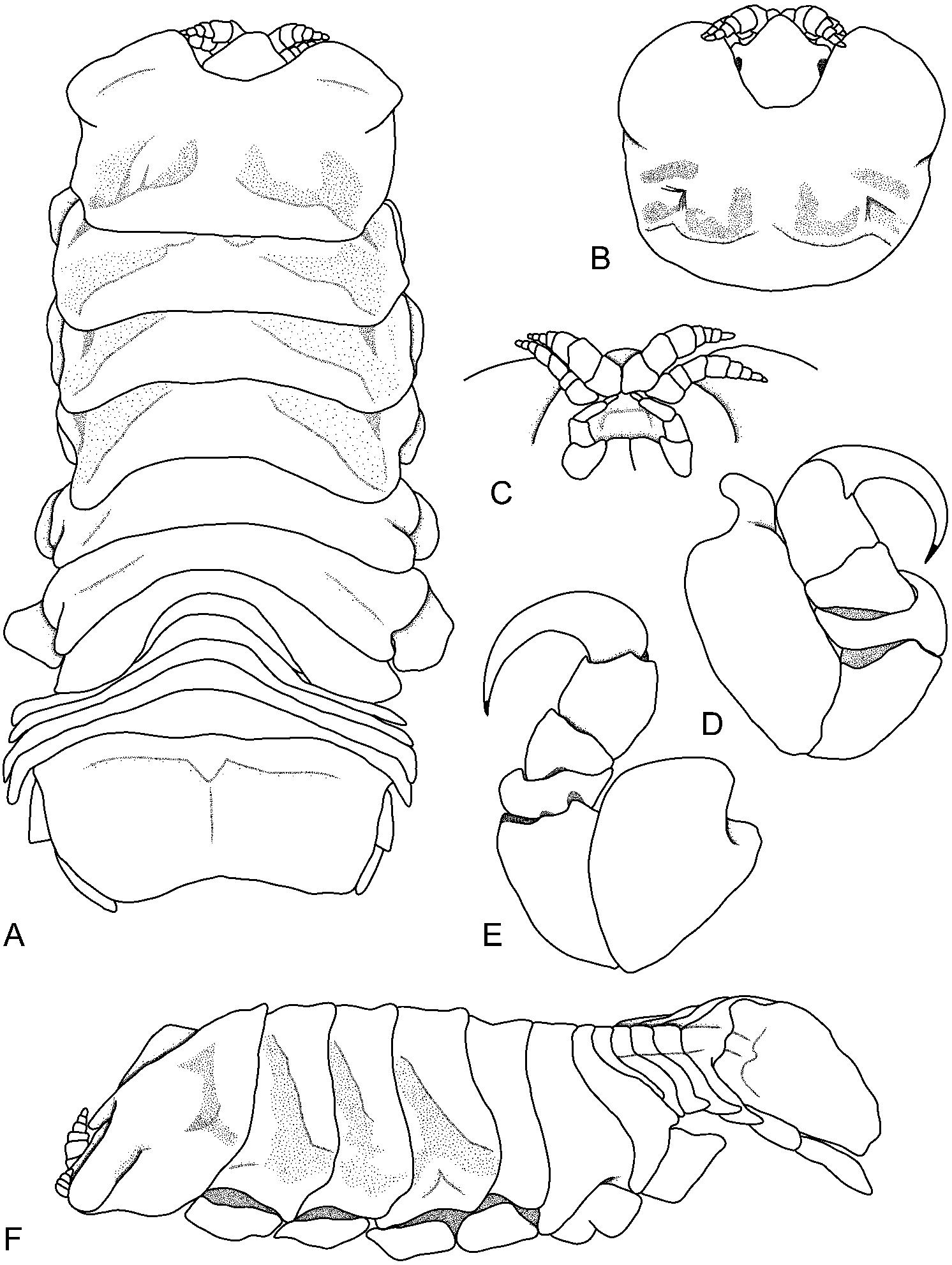 ceratothoa retusa schi dte meinert 1883 isopoda HK P30 fig 7