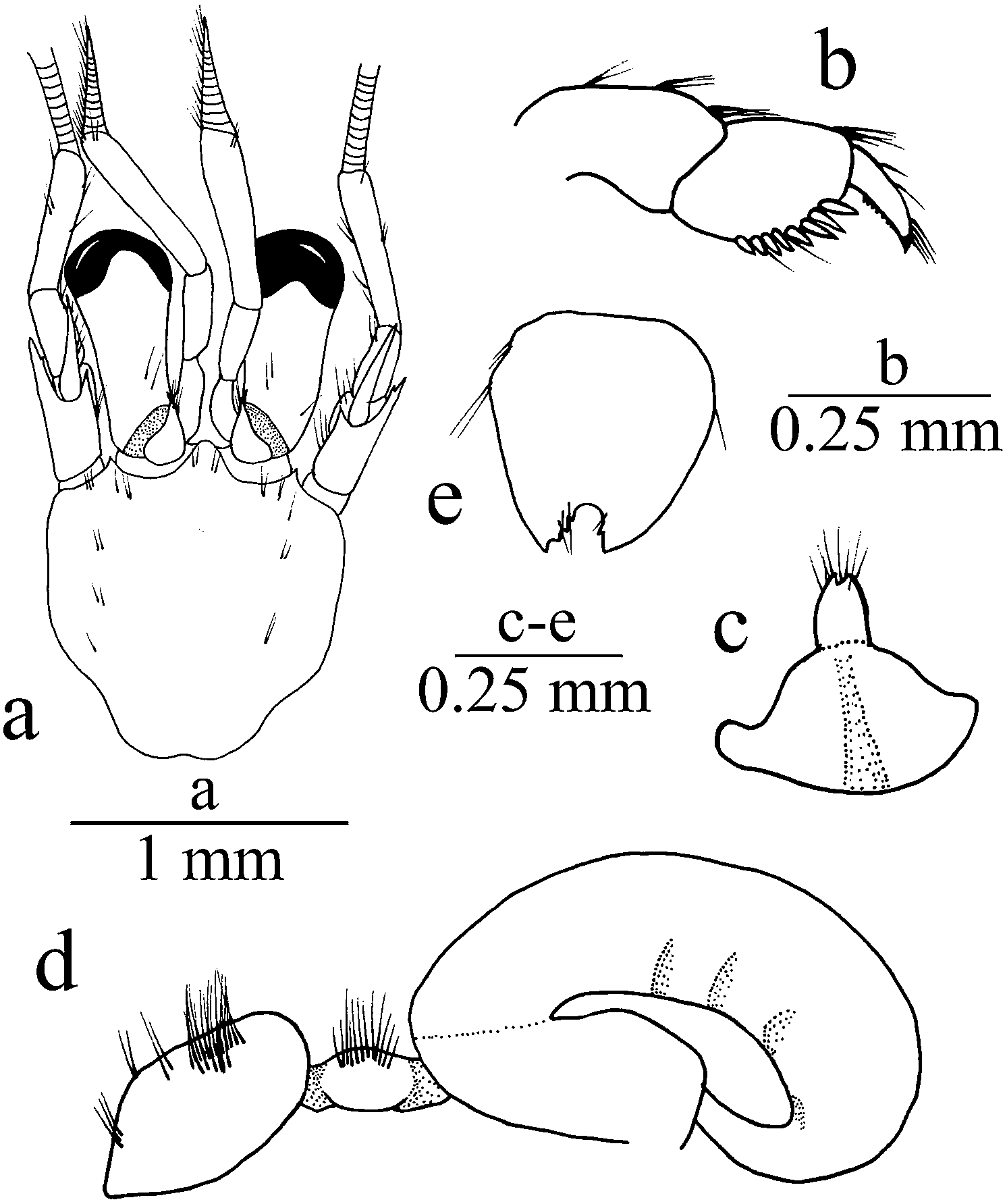 A new species of the hermit crab genus Turleania McLaughlin, 1997
