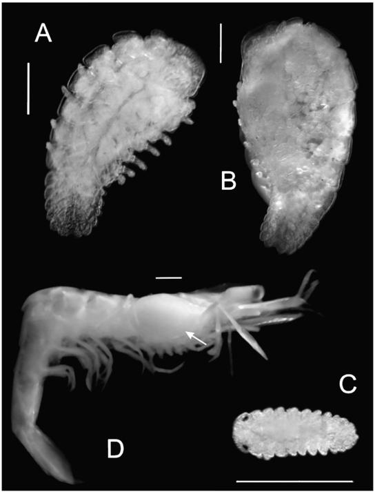 First record of the bopyrid isopod Schizobopyrina urocaridis