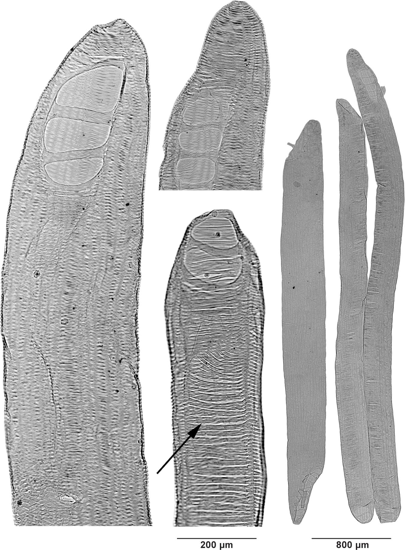 ATLAS OF VESSEL ELEMENTS in: IAWA Journal Volume 39 Issue 3