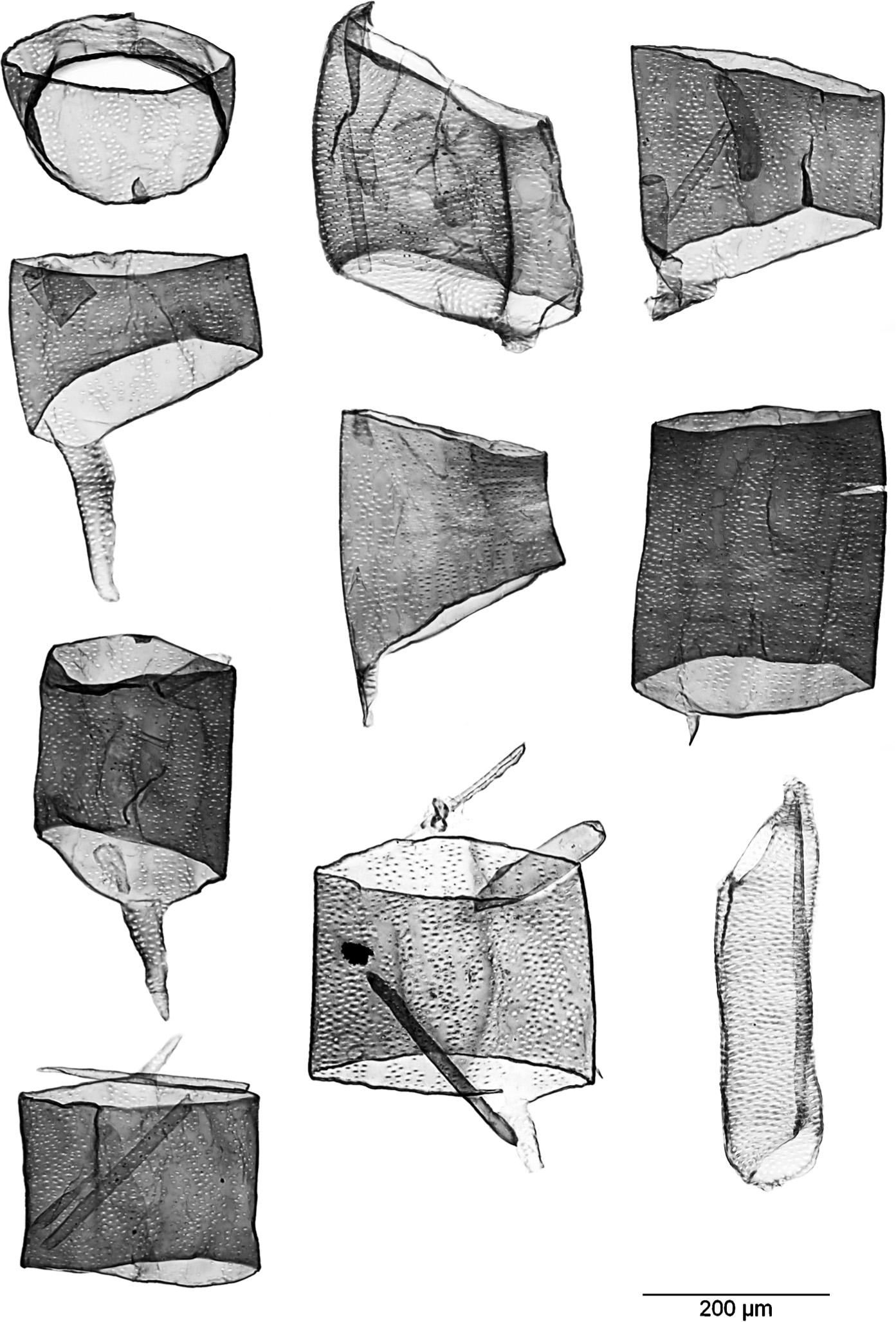 ATLAS OF VESSEL ELEMENTS In IAWA Journal Volume 39 Issue 3