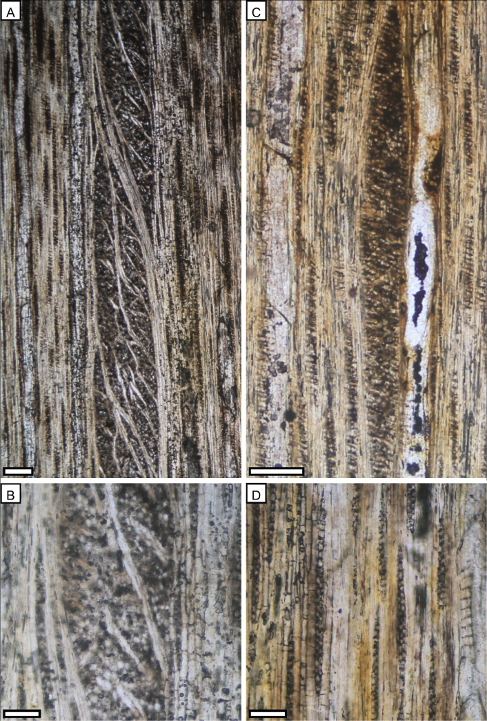 Miocene Casuarinaceae wood from Landslip Hill, Southland