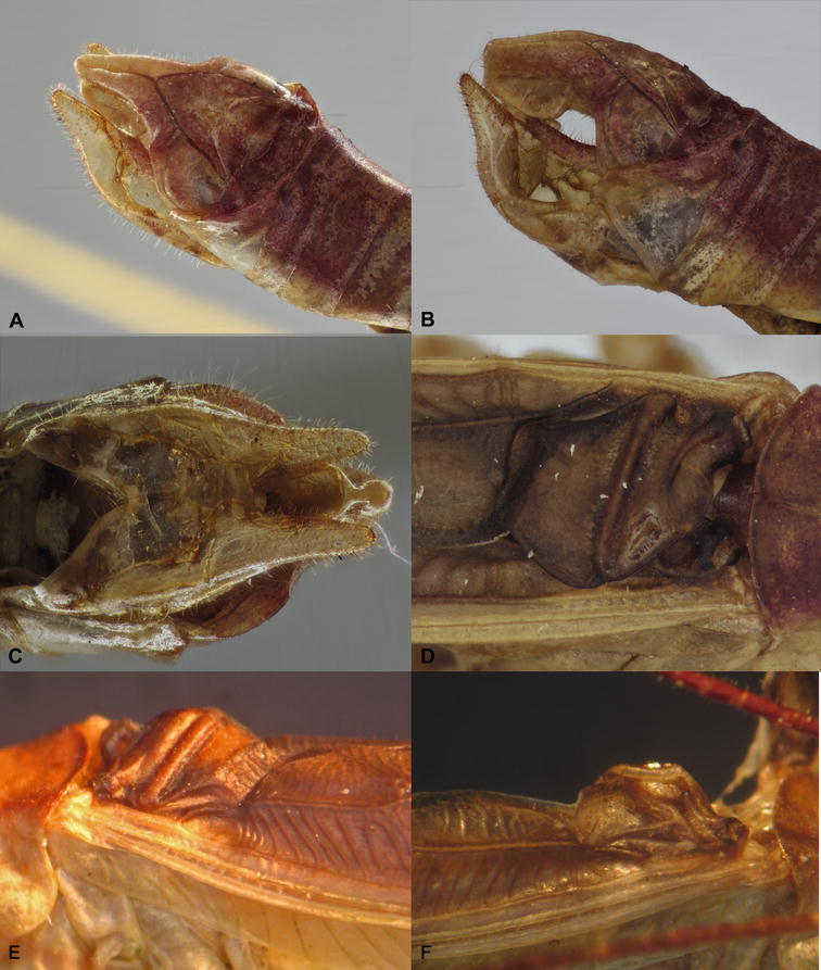 New genera and new species of Acrometopini (Orthoptera