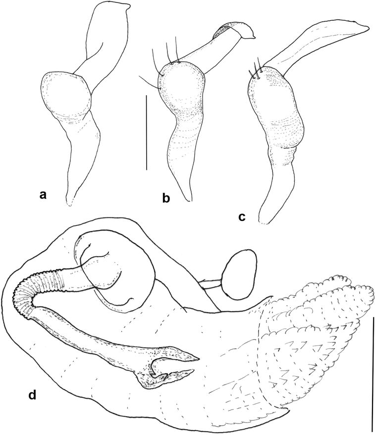 systematics of the plant bug tribe hyaliodini hemiptera Only Hook Em Horns male genitalia of torunotum badius sp n a c left paramere d endosoma scale 1 mm