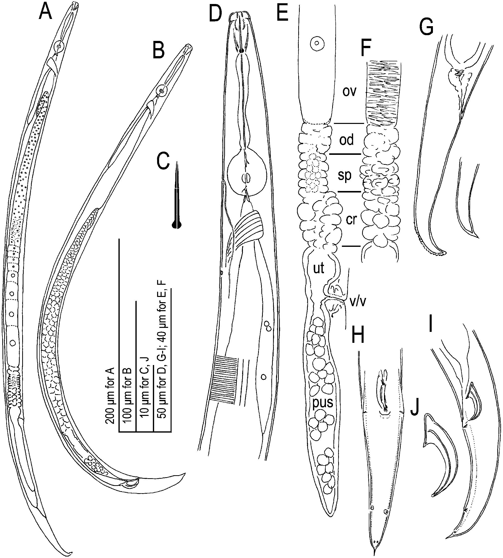 Description of two Pseudaphelenchus species Tylenchomorpha