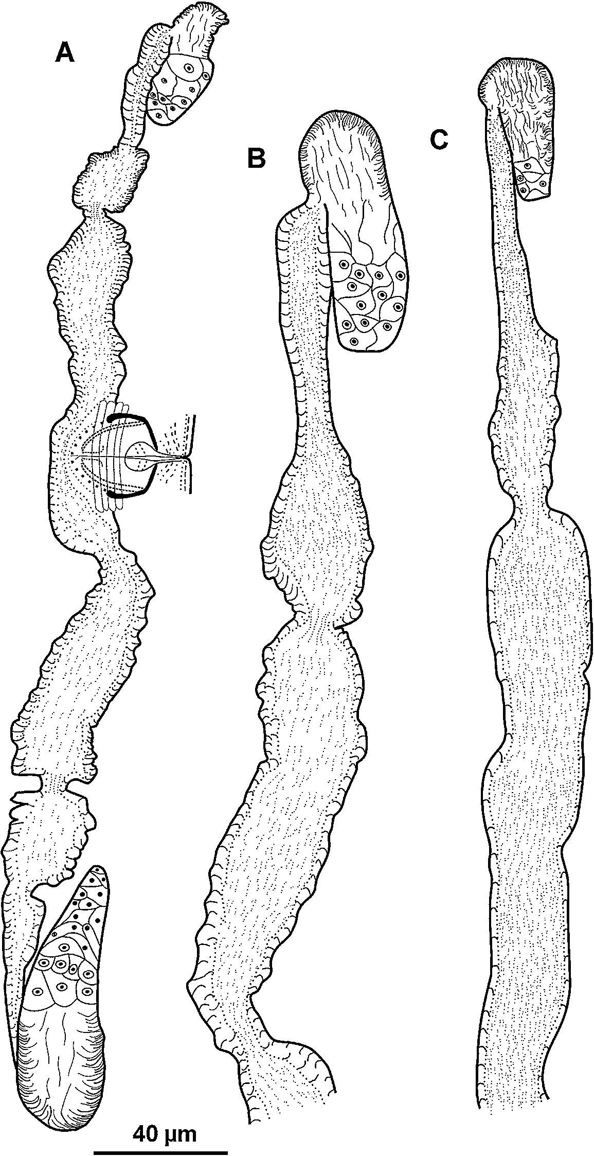 A new dagger nematode, Xiphinema poasense n  sp  (Nematoda
