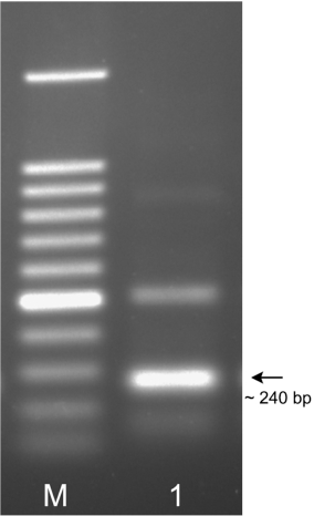 Recombinase polymerase amplification assay for rapid