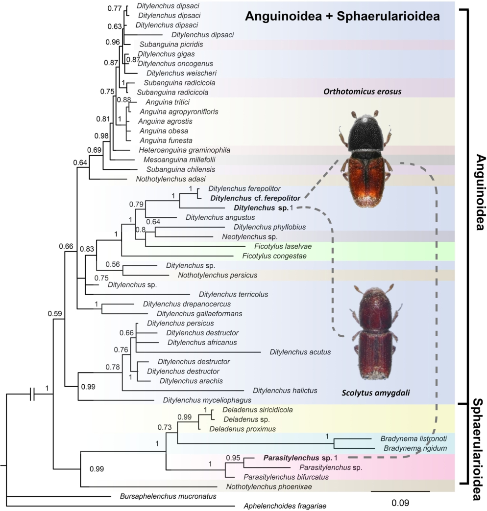 Diversity and distribution of nematodes associated with bark beetles
