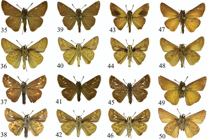 A re-appraisal of Gegenes Hübner, 1819 (Lepidoptera